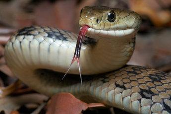 Мужчина, укушенный ядовитой змеей, решил укусить и свою жену