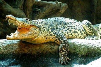 Ученые создадут из крови крокодилов самые сильные антибиотики