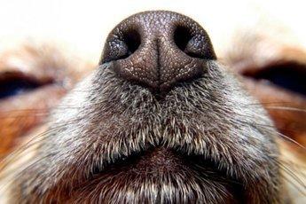 Собак обучат распознавать шизофрению