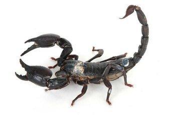 Патологии мозга будут лечить ядом скорпиона