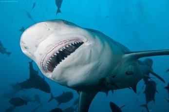 Акулы не тронули вора