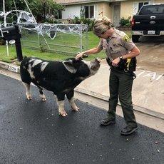 Огромную свинью пришлось заманивать домой чипсами