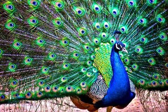 """Внешность или голос: какой """"талант"""" покоряет сердца самок птиц?"""