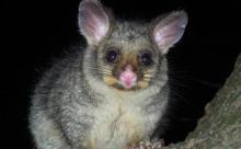 В Австралии утка высидела зверька