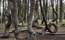 Мистические места России. Танцующий лес.