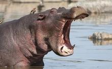 Кениец на рыбалке попался на зуб бегемоту