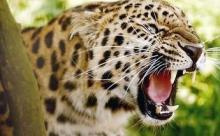 Леопард с ВИЧ станет донором для искусственного оплодотворения