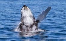Дайвер оказался в пасти у кита