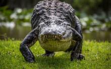 Австралийские рыбаки залезли на дерево, спасаясь от крокодила (ВИДЕО)