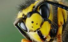 Изготовлен новый антибиотик из яда осы