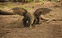 Два огромных ящера подрались из-за самки