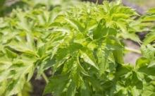 Ашитаба — растение в Японии, продлевающее молодость