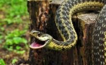 Житель Индии укусил свою жену после того, как сам пострадал от укуса змеи